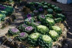 Col duradera orgánica en el jardín con luz del sol Fotos de archivo libres de regalías