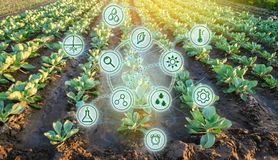 Col en el campo Altas tecnologías e innovaciones en agroindustria Calidad del estudio del suelo y de la cosecha Trabajo científic foto de archivo