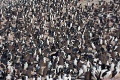 Colônia de Cormorants imperiais Imagem de Stock Royalty Free