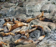 Colônia de expor ao sol leões de mar Foto de Stock