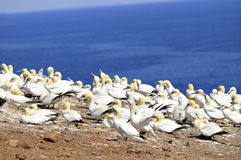 Colônia de Gannets do norte Fotografia de Stock