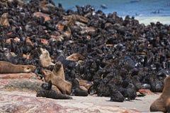 Colônia de lobo-marinhos marrons, pusillus do Arctocephalus Imagens de Stock