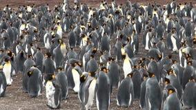 Colônia de pinguins de rei video estoque