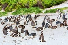 Colônia de pinguins do cabo na praia imagens de stock