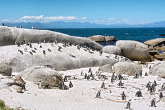 Colônia de pinguins pequenos na praia foto de stock royalty free
