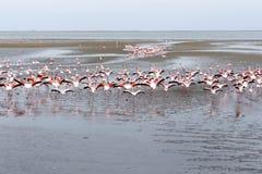 Colônia de Rosy Flamingo na baía Namíbia de Walvis Fotos de Stock Royalty Free