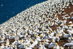 Colônia do albatroz Imagens de Stock Royalty Free