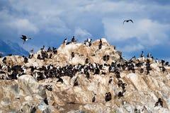 Colônia do albatroz em Ushuaia foto de stock royalty free