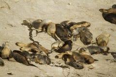 Colônia do leão de mar em Ámérica do Sul Fotos de Stock