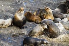 Colônia do leão de mar em Ámérica do Sul Fotografia de Stock