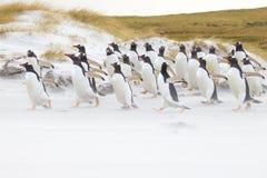 Colônia do pinguim de Gentoo que corre ao longo da praia Fotografia de Stock