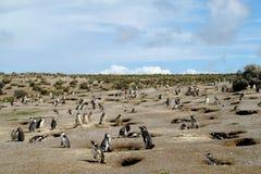 Colônia do pinguim de Magellanic Imagens de Stock
