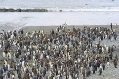 Colônia do rei Penguin (patagonicus do Aptenodytes) na praia foto de stock royalty free