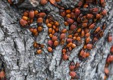 Colônia dos firebugs na árvore Foto de Stock Royalty Free