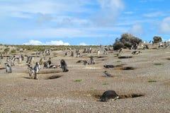 Colônia dos pinguins de Magellan imagem de stock royalty free