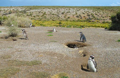Colônia dos pinguins de Magellan fotos de stock