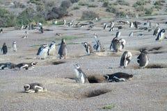 Colônia dos pinguins de Magellan imagens de stock royalty free