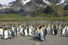 Colônia dos pinguins de rei em Geórgia sul foto de stock