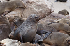 Colônia enorme do lobo-marinho de Brown - leões de mar em Namíbia Foto de Stock Royalty Free