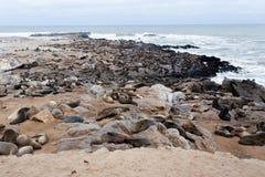 Colônia enorme do lobo-marinho de Brown - leões de mar em Namíbia Fotos de Stock Royalty Free
