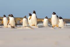 Colônia na praia, Malvinas do pinguim de Gentoo (Pygoscelis papua) Fotos de Stock Royalty Free