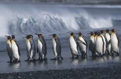 Colônia sul BRITÂNICA de Georgia Island do rei Penguins que marcha na opinião lateral da praia Fotografia de Stock Royalty Free