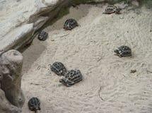Colônia terrestre da tartaruga na areia Imagem de Stock