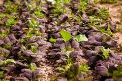 Col orgánica púrpura Imagen de archivo libre de regalías