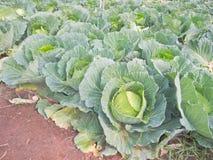 Col orgánica plantada en la plantación de la col Imagenes de archivo