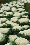 Col ornamental blanca Fotografía de archivo libre de regalías