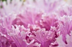 Col púrpura Imágenes de archivo libres de regalías