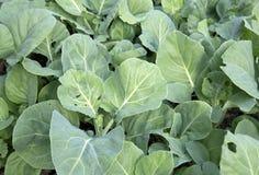 Col rizada china vegetal orgánica fotografía de archivo
