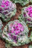 Col rizada entera - flor púrpura Imagen de archivo libre de regalías