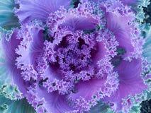 Col rizada floreciente Fotografía de archivo