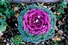 Col rizada ornamental colorida en la caída fotografía de archivo