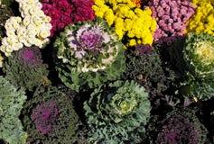 Col rizada ornamental con los crisantemos Imagen de archivo