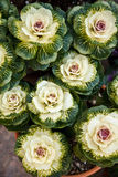 Col rizada ornamental en jardín Fotos de archivo