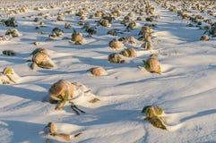 Col unharvested campo del invierno Imagenes de archivo