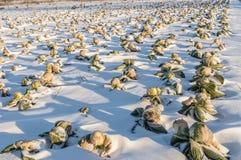 Col unharvested campo del invierno Foto de archivo libre de regalías