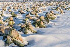 Col unharvested campo del invierno Imagen de archivo libre de regalías