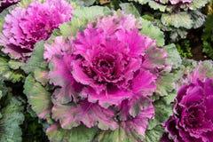 Col violeta Imagen de archivo libre de regalías