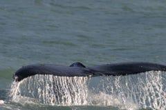 Cola Alaska de la ballena Imagen de archivo libre de regalías