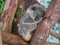 The cola bear is sleeping on a the tree. Close shot. The cola bear is sleeping on the tree. Close shot royalty free stock photo