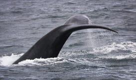 Cola con descensos del agua de una natación meridional de la ballena derecha cerca de Hermanus, Western Cape Viñedo famoso de Kan imagenes de archivo