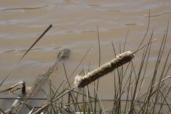 Cola de gato vieja en el borde del ` s del agua fotografía de archivo libre de regalías