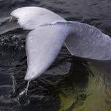 Cola de la aleta de una ballena de la beluga Imagenes de archivo