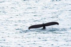 Cola de la ballena Imagenes de archivo