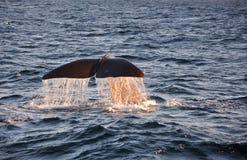 Cola de la ballena con descensos del agua Fotos de archivo libres de regalías
