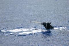 Cola de la ballena de Humpback Foto de archivo libre de regalías