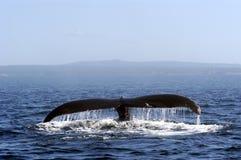 Cola de la ballena de Humpback Imagen de archivo libre de regalías